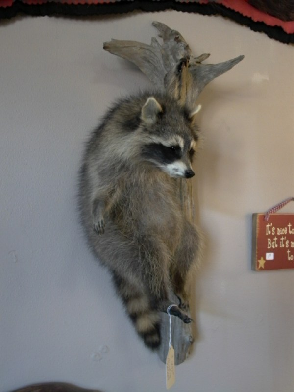 hanging-raccoon